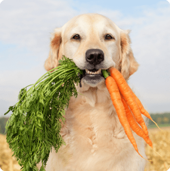 golden retriever carrying carrots in mouth